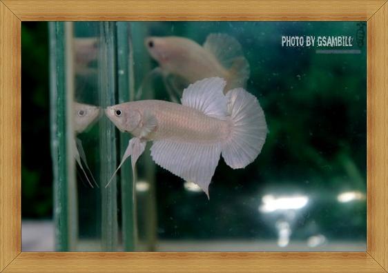 (ขายแล้วครับ)White Opac ปลากัดครีบสั้น