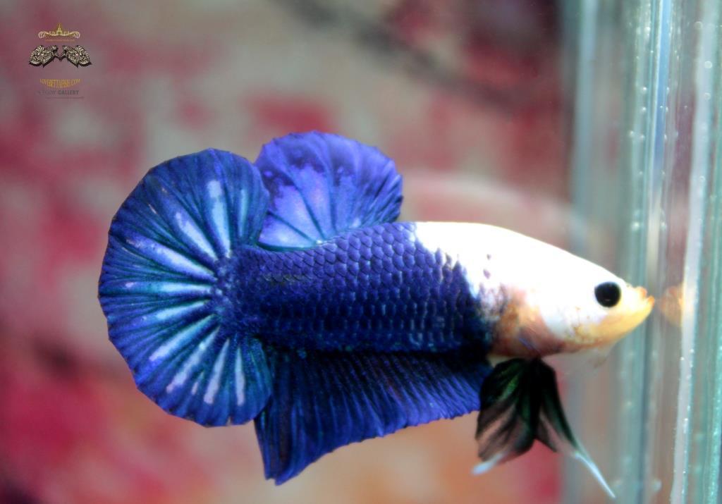 ปลากัดคัดเกรดครีบสั้น - Halfmoon Plakad Over Tails BlueSky White Head Premium Quality Grade AAA+